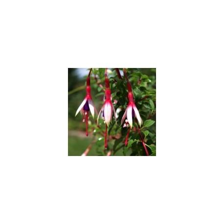 Fuchsia magellanica var. arauco - Le Jardin des Curieux