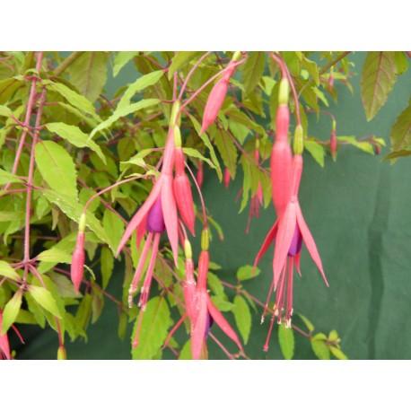 Fuchsia magellanica var. aurea - Le Jardin des Curieux