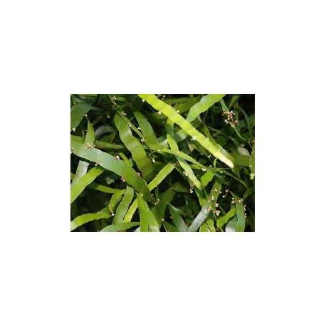 Homalocladium platycladum - Plante ruban