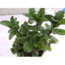 Mentha X piperita f. citrata 'Bergamote' - Menthe