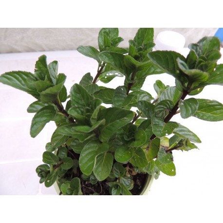 Mentha X piperita f. citrata 'Bergamote' - Menthe Chocolat