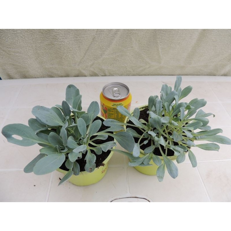 Plante go t d 39 hu tre mertensia maritima for Plante huitre