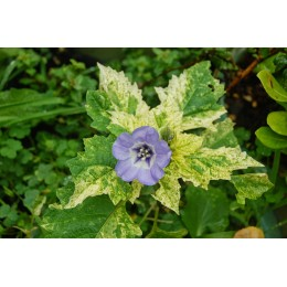 Nicandra physalodes 'Variegata' - Nicandre faux coqueret panaché (graines / seeds)