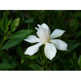 Gardenia jasminoïdes 'Perfumed Petticoats' - Gardénia rustique