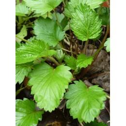 Fragaria monophylla - Fraisier monophylle (à une feuille)