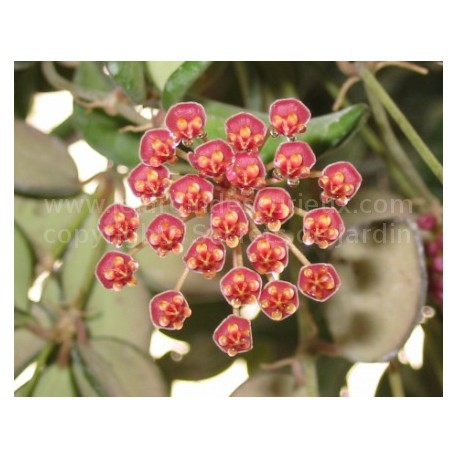 Hoya bilobata  - Fleur de Porcelaine (ou de cire)