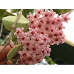 Hoya tricolor rose - Fleur de Porcelaine (ou de cire)