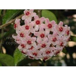 Hoya carnosa - Fleur de Porcelaine (ou de cire)