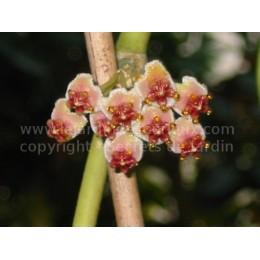 Hoya kerrii - Fleur de Porcelaine (ou de cire)