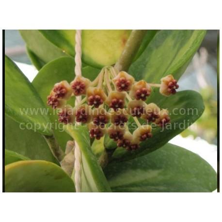 hoya kerii 39 variegata 39 fleur de porcelaine ou de cire. Black Bedroom Furniture Sets. Home Design Ideas