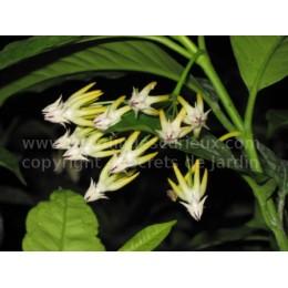 Hoya multiflora - Fleur de Porcelaine (ou de cire)
