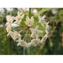 Hoya australis - Fleur de Porcelaine (ou de cire) - boutures / cuttings