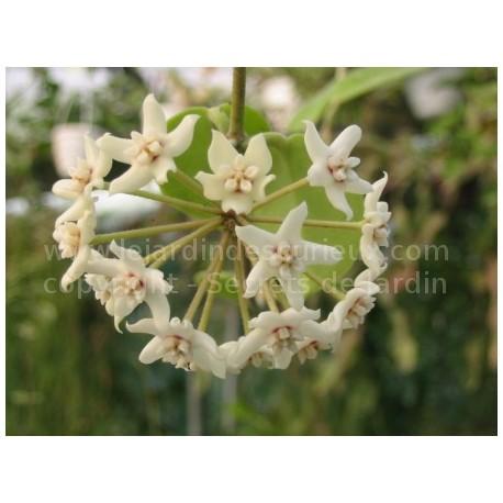 Hoya australis - Fleur de Porcelaine (ou de cire)