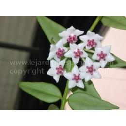 Hoya bella - Fleur de Porcelaine (ou de cire)