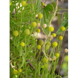 "Helenium aromaticum - Plante à odeur de ""Fraise Tagada"" (Graines / seeds)"