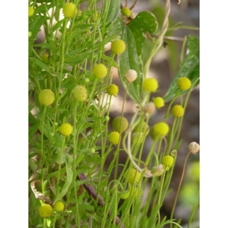 Helenium aromaticum