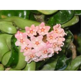 Hoya carnosa 'Compacta' - Fleur de Porcelaine (ou de cire)