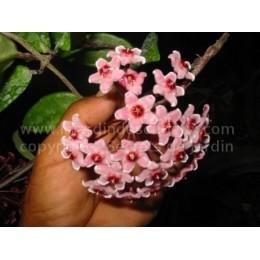 Hoya carnosa 'Krinkle' - Fleur de Porcelaine (ou de cire) - boutures / cuttings