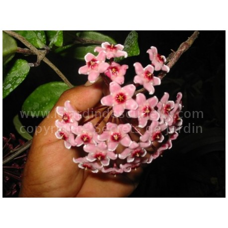 Hoya carnosa 'Krinkle' - Fleur de Porcelaine (ou de cire)