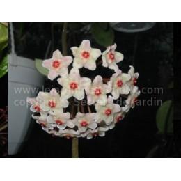 Hoya carnosa 'Malaysia' - Fleur de Porcelaine (ou de cire)