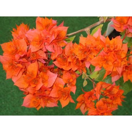 Bougainvillea ''Orange double'' - Bougainvillier ou Bougainvilée