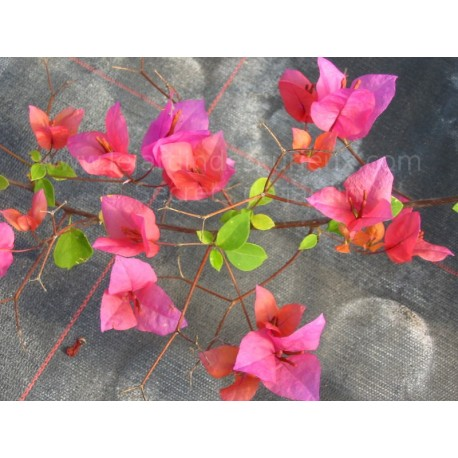 Bougainvillea  'Isabel Greensmith' - Bougainvillier ou Bougainvilée