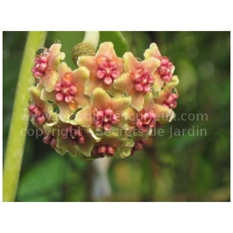 Hoya crassipes - Fleur de Porcelaine (ou de cire)