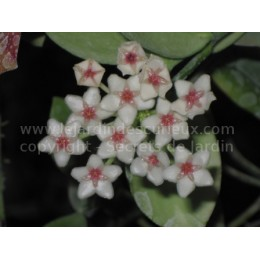 Hoya diptera - Fleur de Porcelaine (ou de cire)