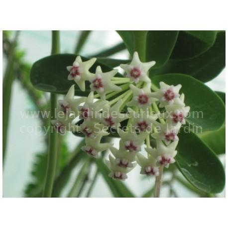 Hoya golamcoiana - Fleur de Porcelaine (ou de cire)