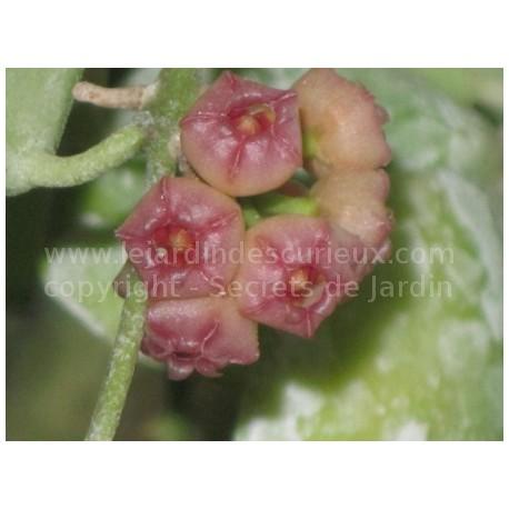 Hoya heuschkeliana - Fleur de Porcelaine (ou de cire)