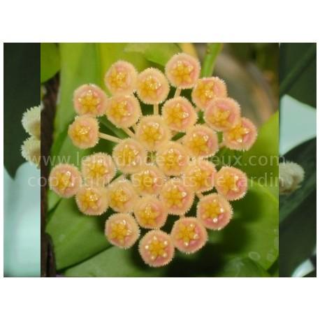 Hoya obscura - Fleur de Porcelaine (ou de cire)