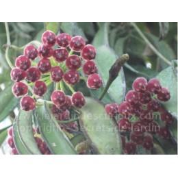 Hoya wayetii - Fleur de Porcelaine (ou de cire)