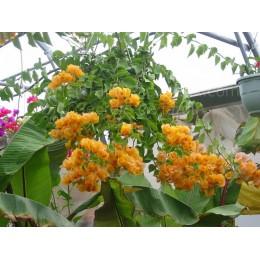 Bougainvillea 'Goldsun' - Bougainvillier ou Bougainvilée