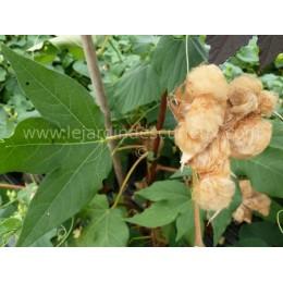 Gossypium hirsutum  'Brown Lint' - Coton à fibre marron