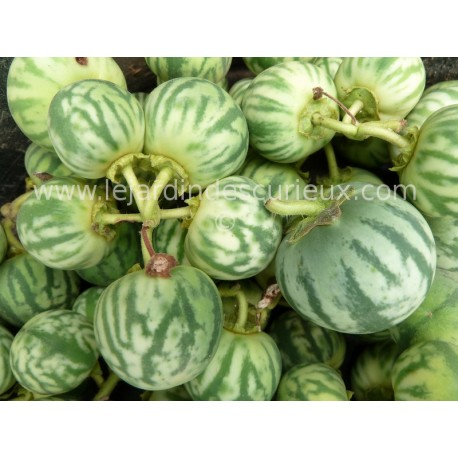 Solanum palinacanthum
