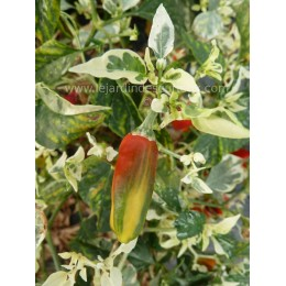 Capsicum annuum  'Striped pod' - Piment