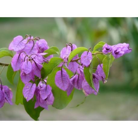 Bougainvillea spectoglabra 'Violet de Mèze' - Bougainvillier ou Bougainvilée