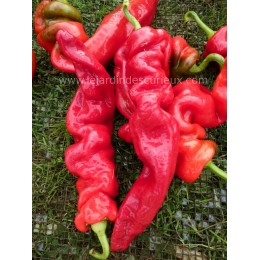 Capsicum chinese 'Wrinkled' - Piment