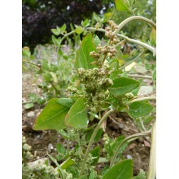 Chenopodium vulvaria - plante à odeur de poisson pourri (graines / seeds)