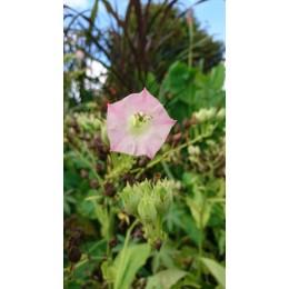 Nicotiana tabacum - Tabac (graines / seeds)