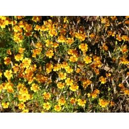 Tagetes tenuifolia -  Oeuillet d'Inde miniature  (graines / seeds)