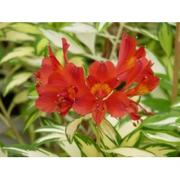 Alstroemeria sp ' Rock and Roll' - Lis des Incas