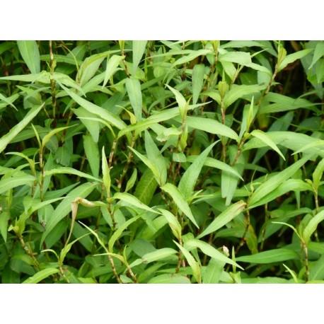 Polygonum odoratum - Coriandre Viétnamien ou Rau Ram
