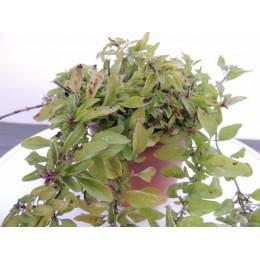 Origanum vulgare 'Goldtaler' - Origan doré