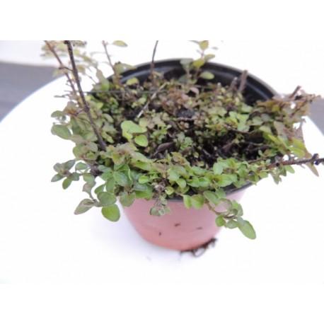 Origanum vulgare 'Diabolo' - Origan