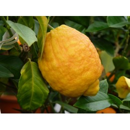 Citrus lemon 'Red Lemon' - Citron rouge (Agrume)