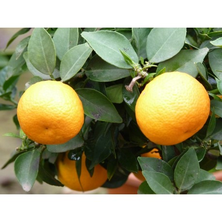 plante aquatique mandarine