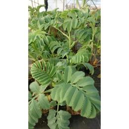 Melianthus major - Arbuste à odeur de cacahuète