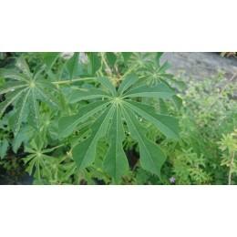 Manihot grahamii - Manioc rustique (plant)