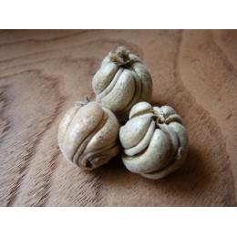 Véritable fruit spiralé - Caiophora laterita